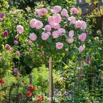 Роза штамбовая Olivia Rose Austin. Оливия Роуз Остин. Дэвин Остин.