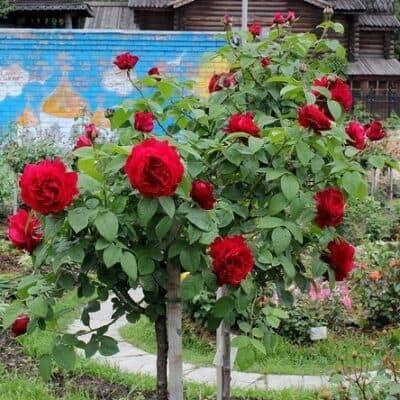 Роза штамбовая L. D. Braithwaite. Эл Ди Брэйтуэйт. Дэвид Остин.