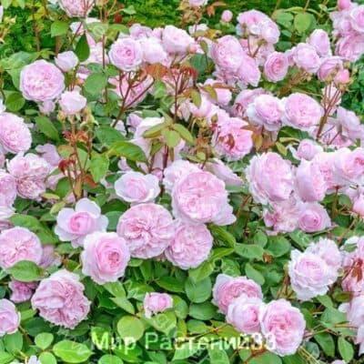 Роза кустовая Olivia Rose Austin. Оливия Роуз Остин. Дэвид Остин.