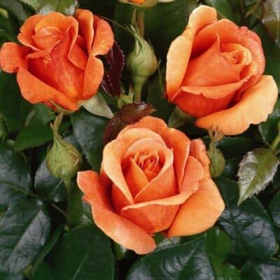 Роза чайно-гибридная Cherry Brandy. Черри Бренди. Тантау.