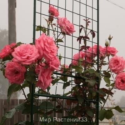 Роза плетистая Ramira. Рамира. Россия.