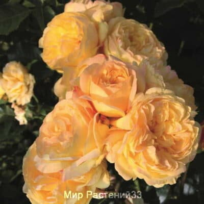 Роза флорибунда Lampion. Лампиён. Тантау.