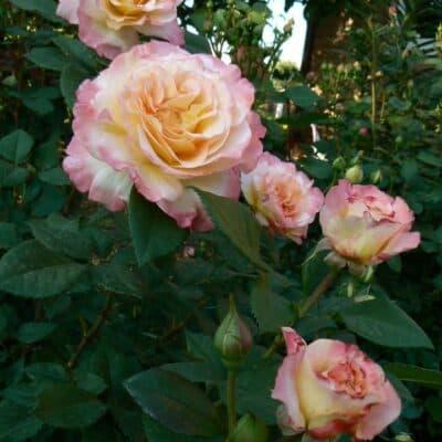 Штамбовая роза Aquarell. Акварель /90 см. Тантау.