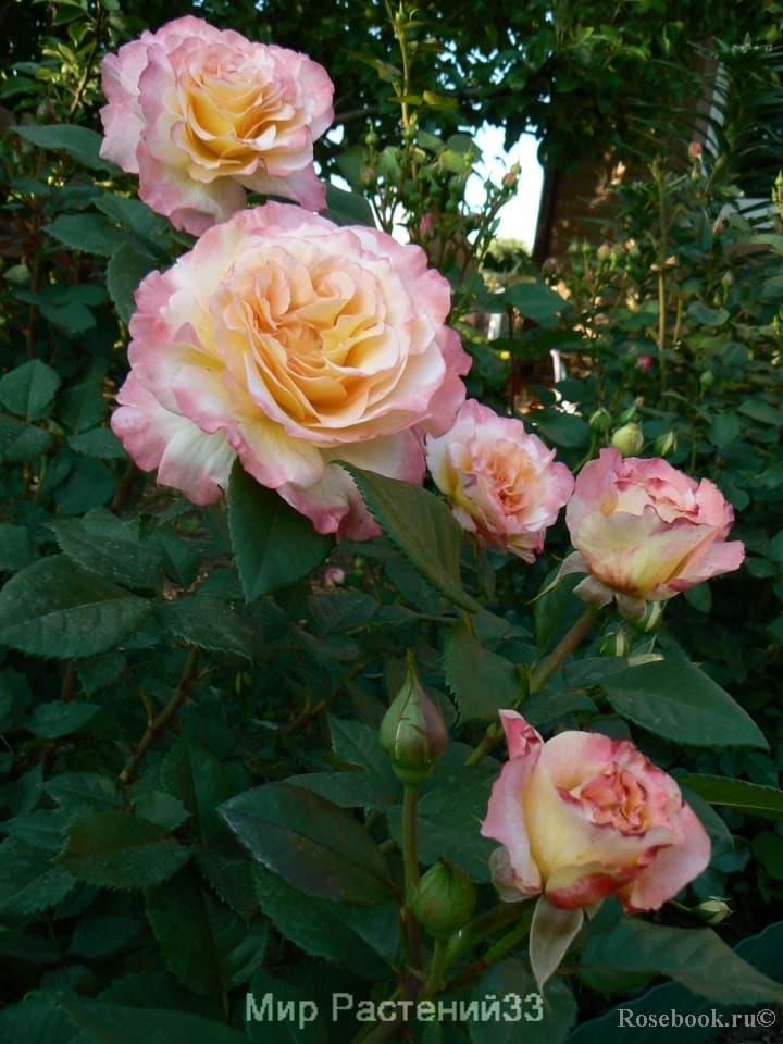 Роза чайно-гибридная Aquarell. Акварель. Тантау.