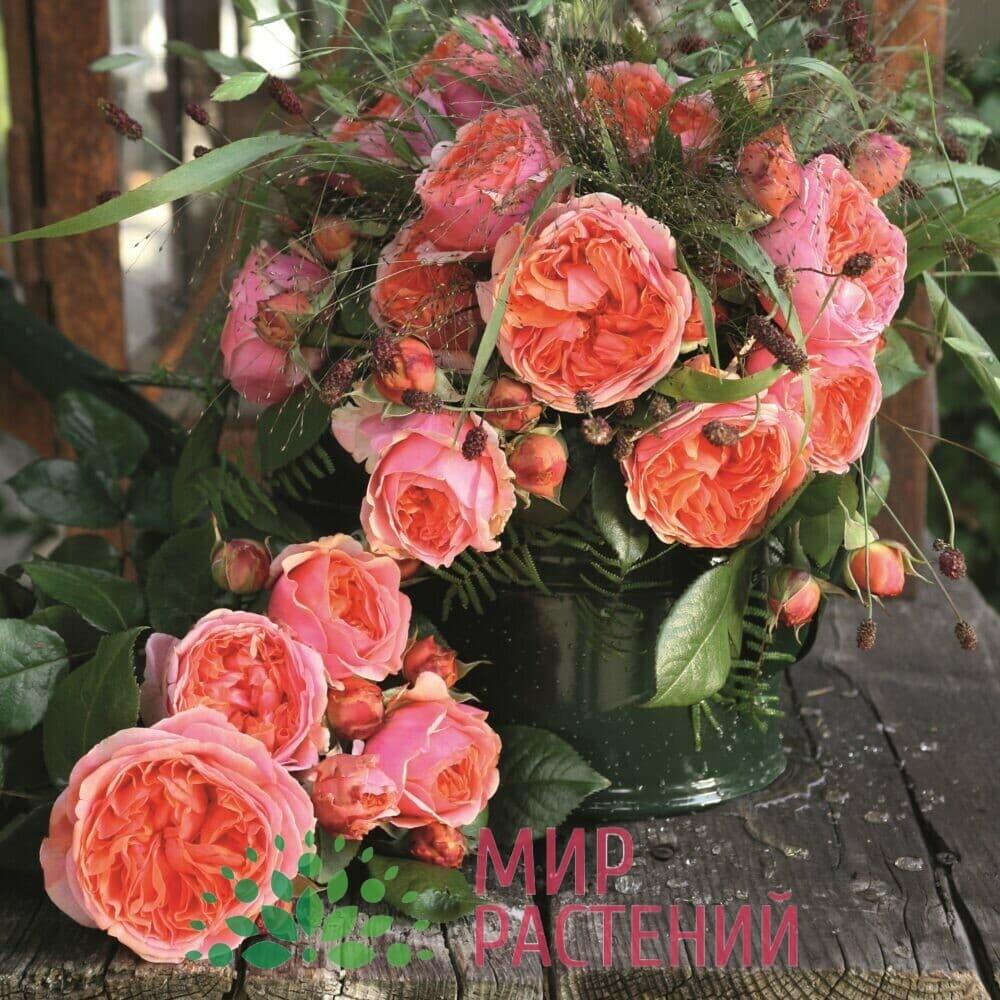 Роза чайно-гибридная Chippendale. Чиппендейл. Тантау.