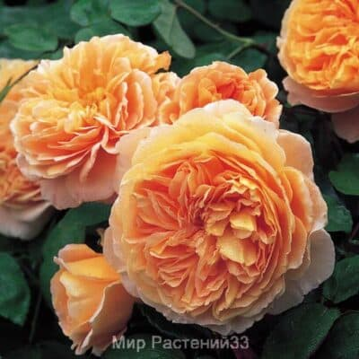 Роза кустовая Crown Princess Margareta. Краун Принцесс Маргарэт. Дэвид Остин.
