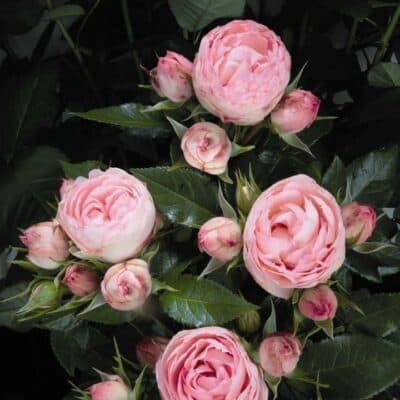 Роза спрей Lovely-Rokoko. Лавели Рококо. Тантау.