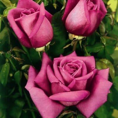 Роза чайно-гибридная Duftrausch. Дуфтрауш. Тантау.