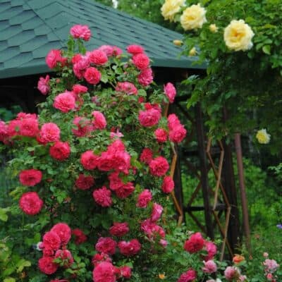 Роза плетистая Rosarium Uetersen. Розариум Ютерсен. Тантау.