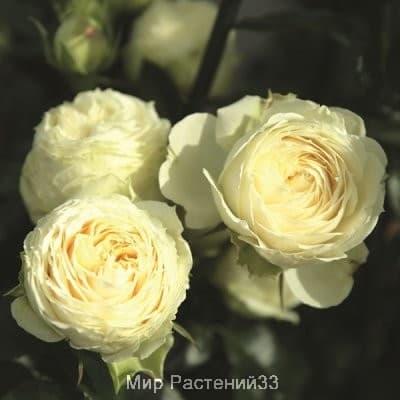 Роза спрей Lemon Rokoko. Лемон Рококо. Тантау.