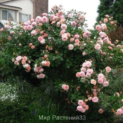 Роза кустовая A Shropshire Lad. Э Шропшир Лэд. Дэвид Остин.