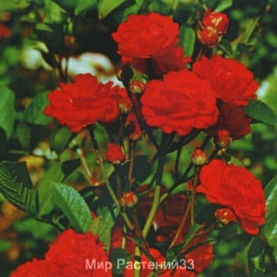 Роза полиантовая Gloria Mundi. Глория Мунди. Россия.