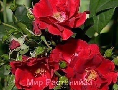 Роза почвопокровная Matador. Матадор. Тантау.