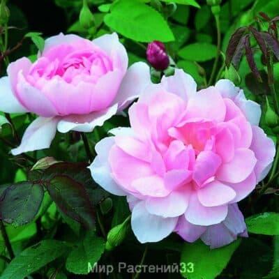 Роза кустовая Mortimer Sackler. Мортимер Саклер. Дэвид Остин.