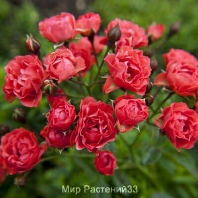 Роза полиантовая Orange Triumph. Оранж Триумф. Россия.