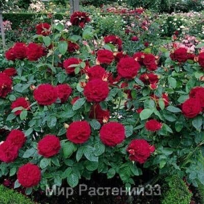 Роза кустовая L. D. Braithwaite. Эл Ди Брэйтуэйт. Дэвид Остин.