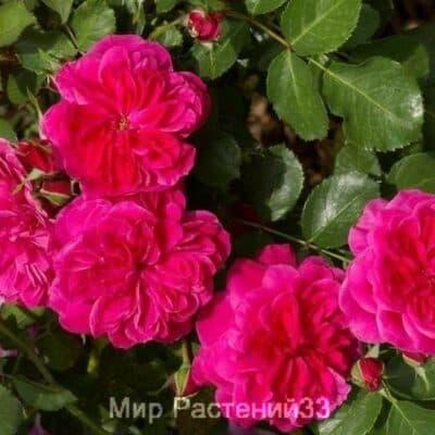 Роза флорибунда Sangria. Сангрия. Россия.