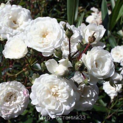 Роза Sea Foam (Российская селекция)