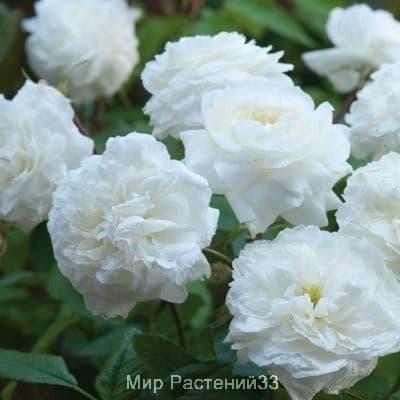 Роза кустовая Susan Williams-Ellis. Сьюзен Уильямс-Эллис. Дэвид Остин.