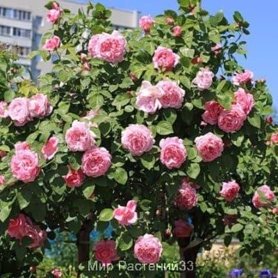 Роза штамбовая Mary Rose. Мэри Роуз. Дэвид Остин.