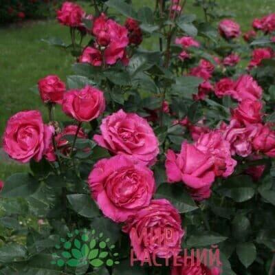Роза чайно-гибридная Venrosa. Венроза. Россия.