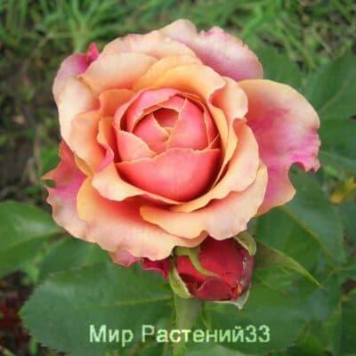 Роза чайно-гибридная. Cherry Brandy. Черри Бренди. Тантау.