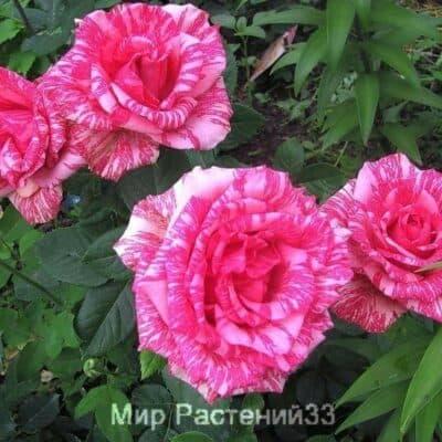 Роза чайно-гибридная Pink Intuition. Пинк Интуишн. Россия.