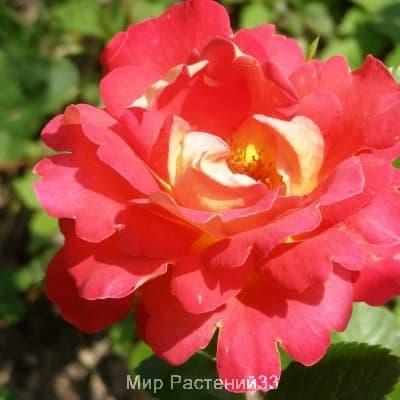 Роза плетистая Decor Arlequin. Павлиний Глаз. Россия.