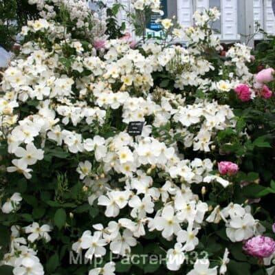 Роза кустовая Kew Gardens. Кью Гарденс. Дэвид Остин.