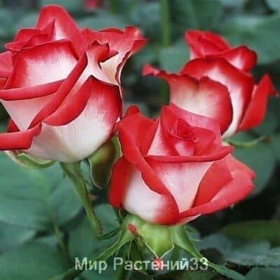 Роза чайно-гибридная  Blush. Блаш. Россия.