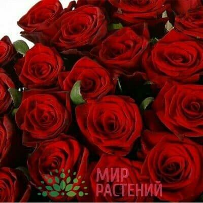 Роза чайно-гибридная Red Naomi. Ред Наоми. Россия.