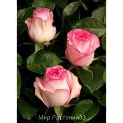 Роза чайно-гибридная Bella Vita. Белла Вита. Россия.