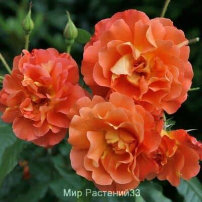 Роза кустовая Westerland. Вестерленд. Тантау.