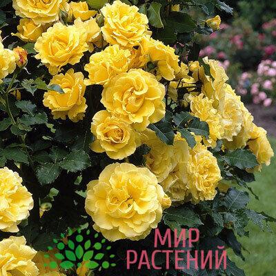 роза голден клаймбер