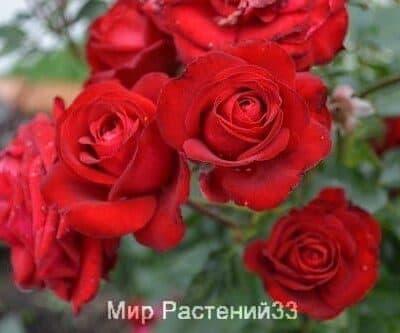 Роза флорибунда Lübecker Rotspon. Любекар Ротшпон. Тантау.