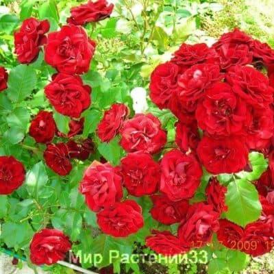 Роза флорибунда Lilli Marleen. Лили Марлен. Россия.