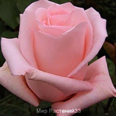 Роза чайно-гибридная Engagement. Ингейджмент. Россия.