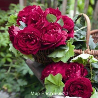 Штамбовая роза Gospel. Госпел /90 см. Тантау.