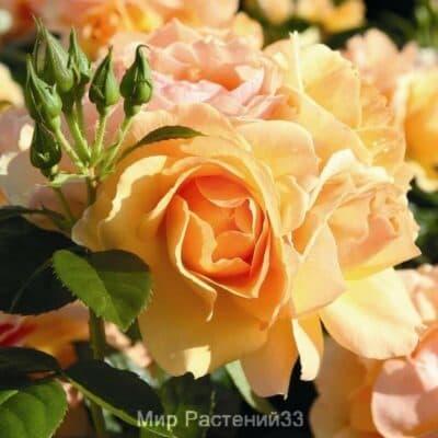 Штамбовая роза Hansestadt Rostock. Ханзештед Росток /90 см. Тантау.