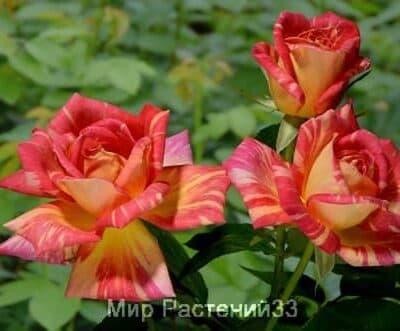 Роза чайно-гибридная Caribia. Карибия. Тантау.