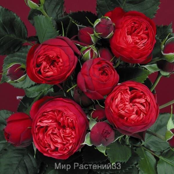 Штамбовая роза Piano. Пиано /90 см. Тантау.