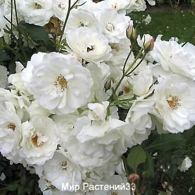 Роза кустовая Schneewittchen. Шнэевитхен. Тантау.