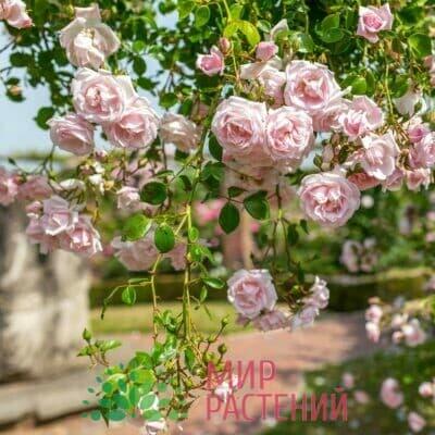 Роза плетистая New Dawn. Нью Даун. Россия.