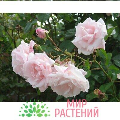 Роза л.Нью Даун