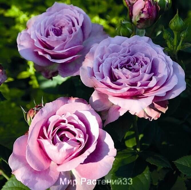 Роза флорибунда Lavender Ice. Лавендер Айс. Россия.