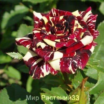 Роза чайно-гибридная Abrakadabra. Абракадабра. Россия.