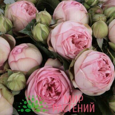 Роза чайно-гибридная Charming Piano. Чарминг Пиано. Тантау-1
