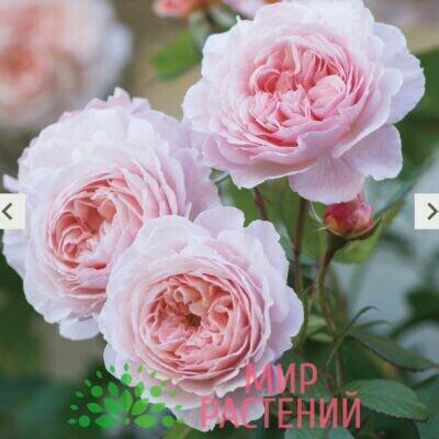 Роза кустовая A Shropshire Lad. Э Шропшир Лэд. Дэвид Остин1