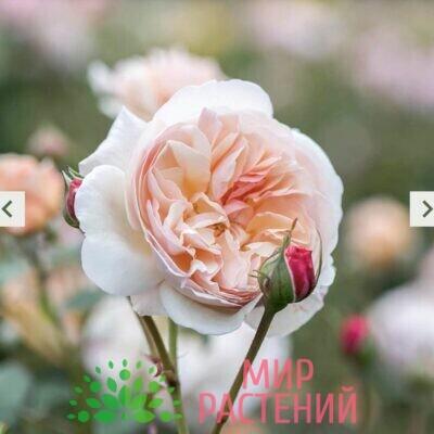 Роза кустовая A Shropshire Lad. Э Шропшир Лэд. Дэвид Остин2