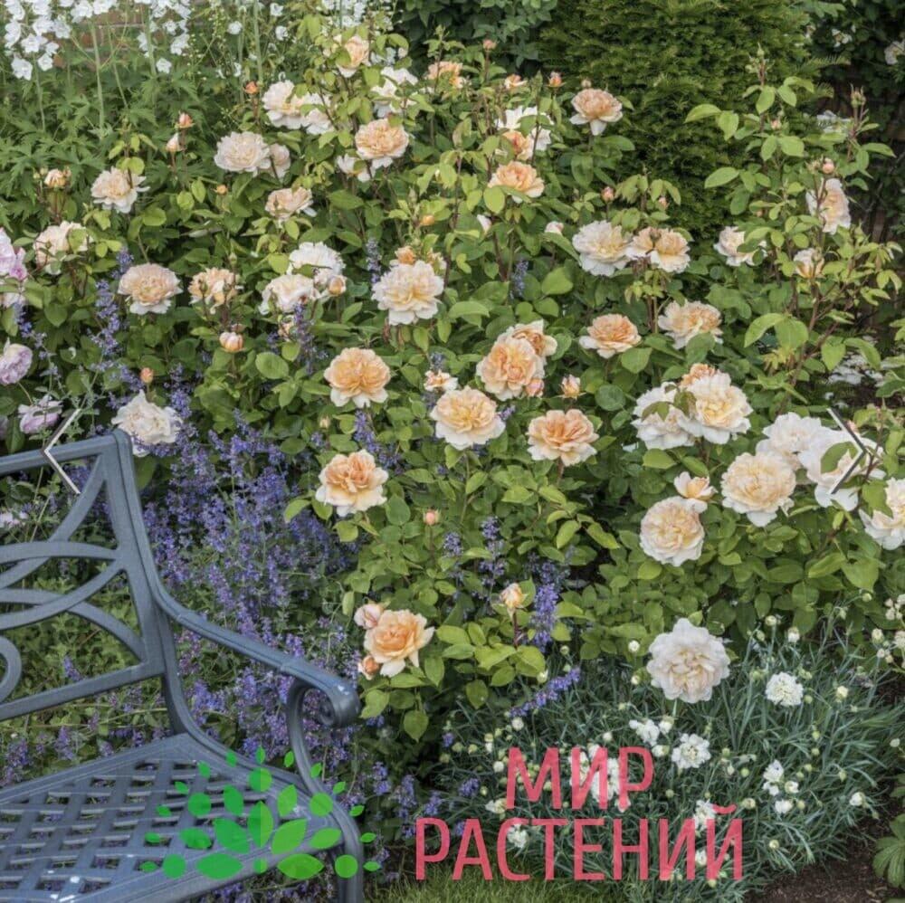 Роза кустовая The Lady Gardener. Зэ Леди Гардэнер. Дэвид Остин 2